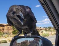 Ворона, ворон - портрет Стоковое Изображение