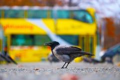 Ворона в городе Стоковые Фотографии RF