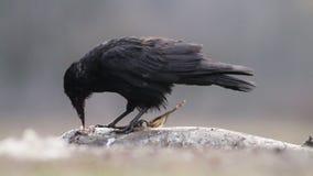 Ворона в лесе в Венгрии сток-видео