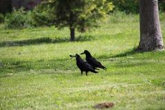 Ворона держа часть еды в своем клюве Стоковые Изображения RF