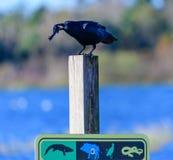 Ворона есть рыбу на знаке Стоковое Изображение RF