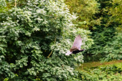 Ворона летания на запачканной предпосылке a Стоковое Фото