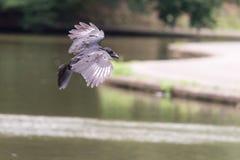 Ворона летания на запачканной предпосылке b Стоковые Изображения