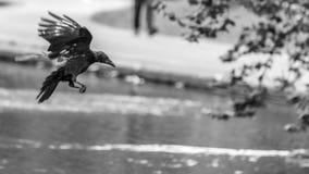 Ворона летания на запачканной предпосылке c Стоковые Изображения RF