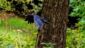 Ворона летания на запачканной предпосылке d Стоковое Фото