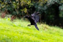 Ворона летания на запачканной предпосылке e стоковые фотографии rf