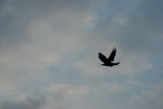 Ворона летания Стоковая Фотография RF