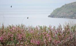 2 ворона летают над садом персика морем Стоковое фото RF