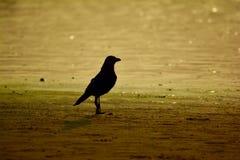 Ворона захода солнца стоковые фотографии rf