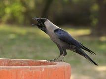 ворона испытывающий жажду Стоковое фото RF