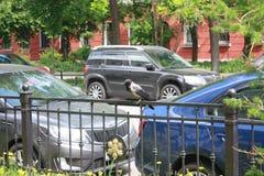 Ворона и автомобили на улице в Петербурге стоковая фотография rf