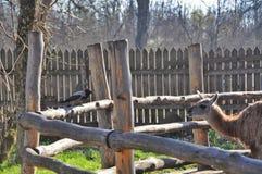 Ворона и лам Стоковые Фото