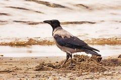 Ворона идет на водораздел Стоковая Фотография