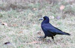 Ворона идя в траву стоковое фото rf