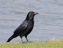 Ворона мяса, corone Corvus стоковые фотографии rf