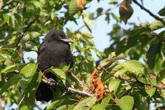 Ворона младенца стоковая фотография rf