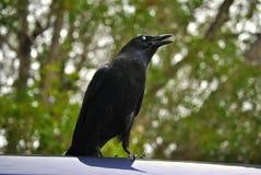 Ворона наблюданная синью Стоковые Изображения