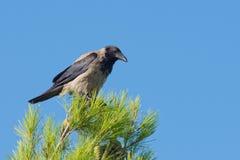 Ворона на верхней части дерева Стоковые Изображения