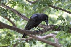 Ворона на ветви на парке Стоковая Фотография