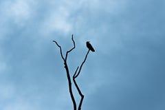 Ворона на ветви смотря правое Silouette Стоковые Изображения RF