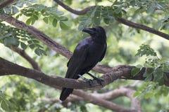 Ворона на ветви Стоковое Изображение