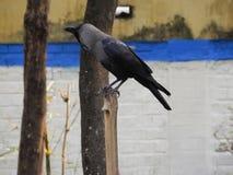 Ворона на ветви Стоковые Изображения