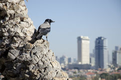 Ворона над городом Стоковая Фотография
