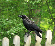 Ворона на загородке стоковая фотография rf