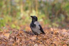Ворона на листьях осени Стоковые Фото
