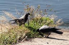 Ворона на пляже Стоковая Фотография RF