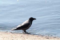 Ворона на пляже Стоковые Фото