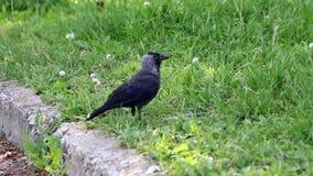 Ворона на траве в городе сток-видео