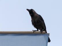 Ворона дома Стоковые Фото