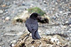 Ворона пляжа стоковое изображение rf