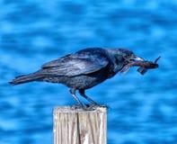 Ворона рыб с рыбами в клюве Стоковая Фотография RF