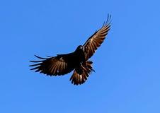 Ворона рыб Стоковое фото RF