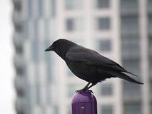 Ворона садить на насест на конце поляка вверх Стоковые Фотографии RF