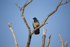 Ворона сидя на мертвом дереве Стоковое Фото