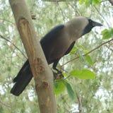 Ворона сидя на ветви Стоковое фото RF