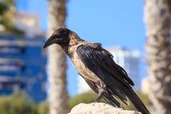 Ворона сидя на камне на запачканной городской предпосылке Стоковые Изображения