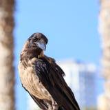 Ворона сидя на камне на запачканной городской предпосылке Стоковые Фото