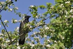 Ворона сидя на яблоне Стоковая Фотография