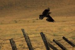 ворона старая Стоковое Изображение RF