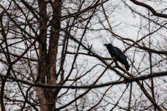 Ворона стоя на ветви на парке медведя Noboribetsu в Хоккаидо, Японии Стоковые Изображения RF