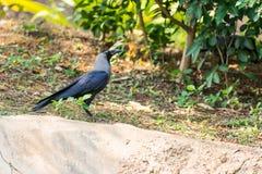 Ворона стоя на парке сада дерева публично смотря внушительный на солнечном дне Стоковая Фотография RF
