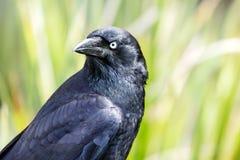 Ворона стоя с зелеными растениями в предпосылке Стоковые Изображения RF