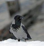 ворона с капюшоном Стоковое Изображение RF