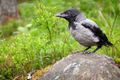 ворона с капюшоном Стоковые Изображения RF