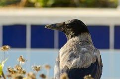 ворона с капюшоном Стоковое Фото
