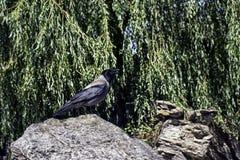 ворона с капюшоном Стоковые Фотографии RF
